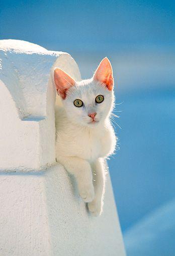 gatto greco