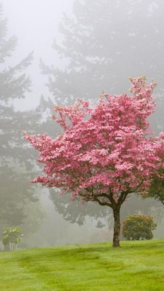 ciliegio nebbia